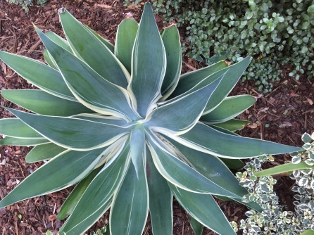 Agave attenuata 'Ray of Light'