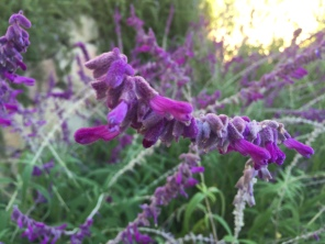 Salvia leucantha 'Midnight'