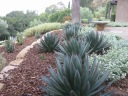 Agave 'Blue Glow' - formerly carex