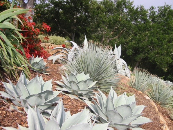 Agave ovatifolia 'Frosty Blue', Dasylirion wheeleri, and Agave franzosinii