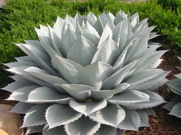 Agave ovatifolia 'Frosty Blue' - Whale's Tongue Agave
