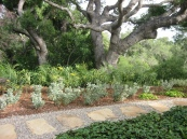 plantings by double-trunked old live oak