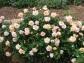 Rosa 'Royal Sunset' in entrance garden