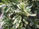Pisonia umbellifera 'Variegata' - Map Plant