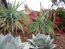 Aloe speciosa - Tilt-head Aloe and Bougainvillea 'Orange King'