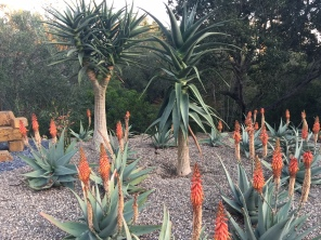 Formerly grass, now Aloe hercules and aloe rubroviolacea