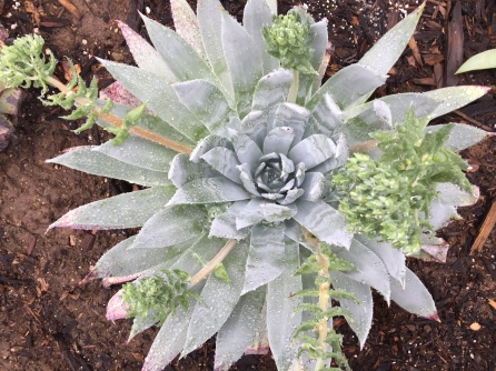 formerly grass, now Dudleya brittonii in succulent knot garden